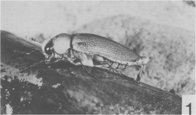 Male Bupestrid beetle attempting to mate with a beer bottle (click to embiggen)