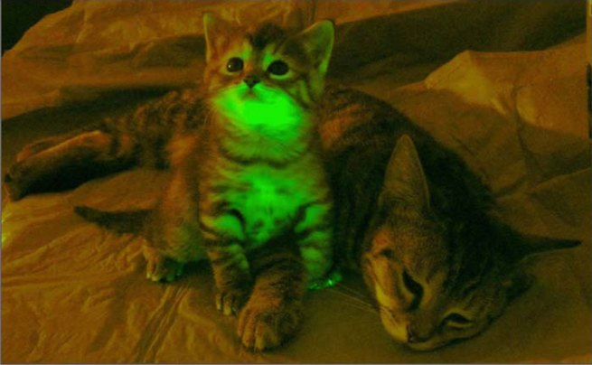 Transgenic kitten glowing under ultraviolet light, compared with a normal, non-fluorescent control cat (click to embiggen)