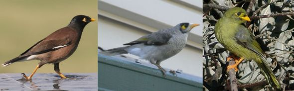 Comparison photos of a Common Myna, Noisy Miner and Bell Miner (click to embiggen)